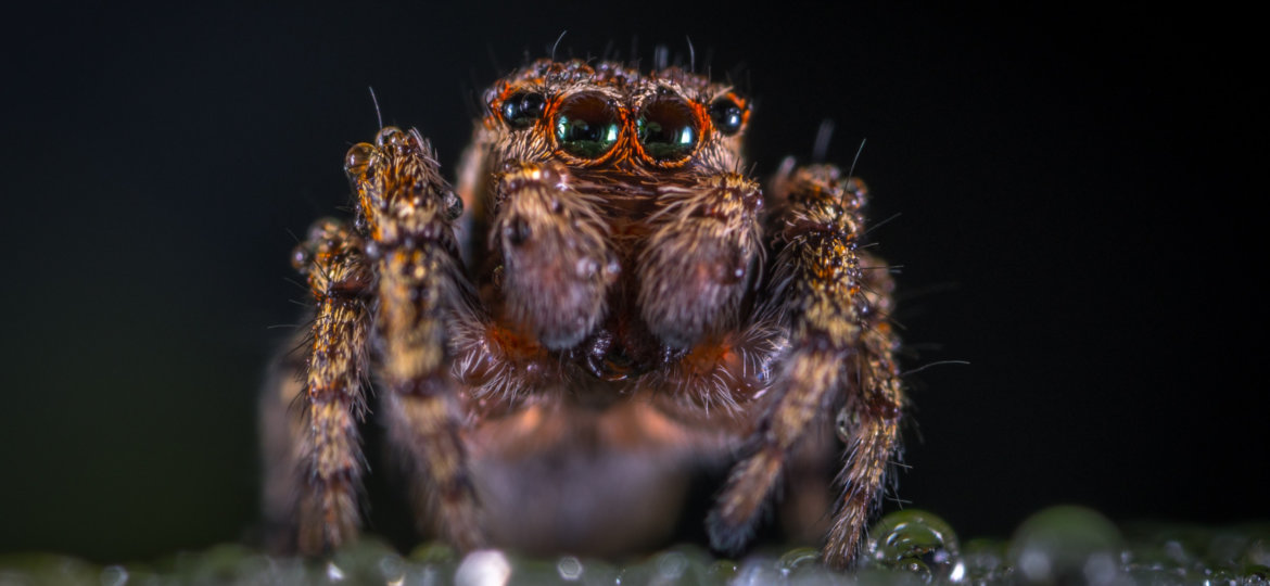 brown-jumping-spider-makro-nasekomoe-macro-insect-lapy-close